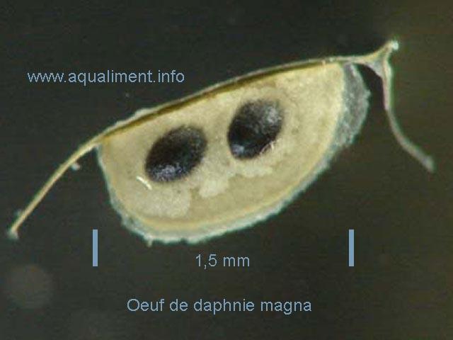 Oeufs de résistance d'une daphnie magna