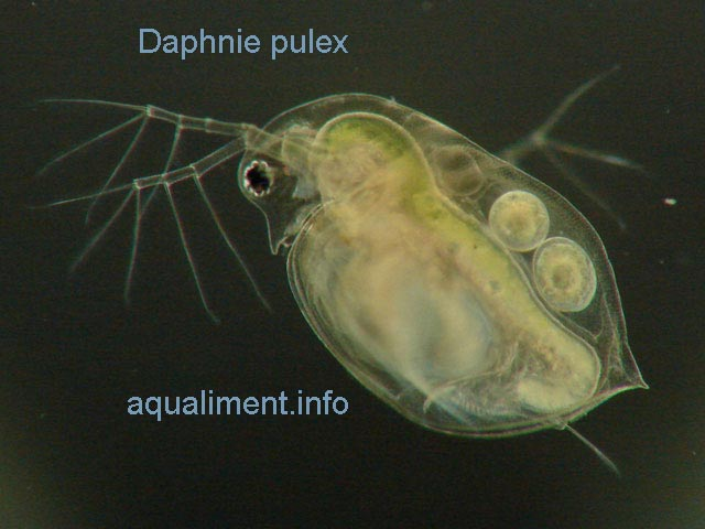 daphnie pulex